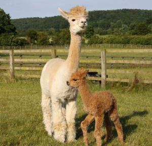 Alpaca and her cria in the farm