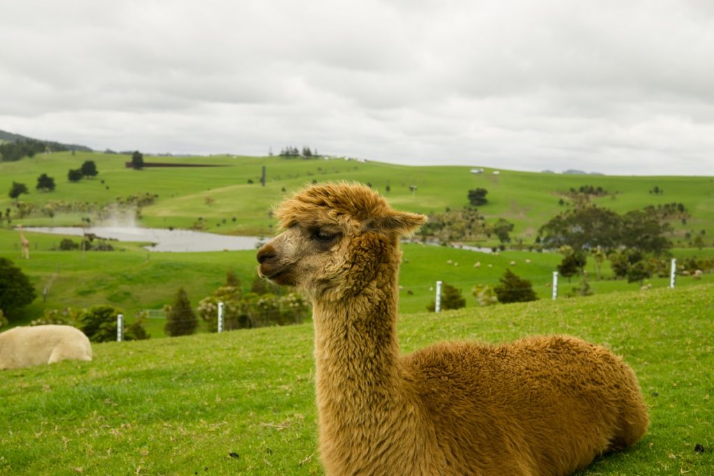 Brown alpaca sitting on the mountain