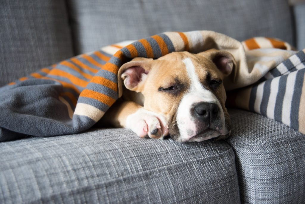 Dog sleeping on the couch with a blanket