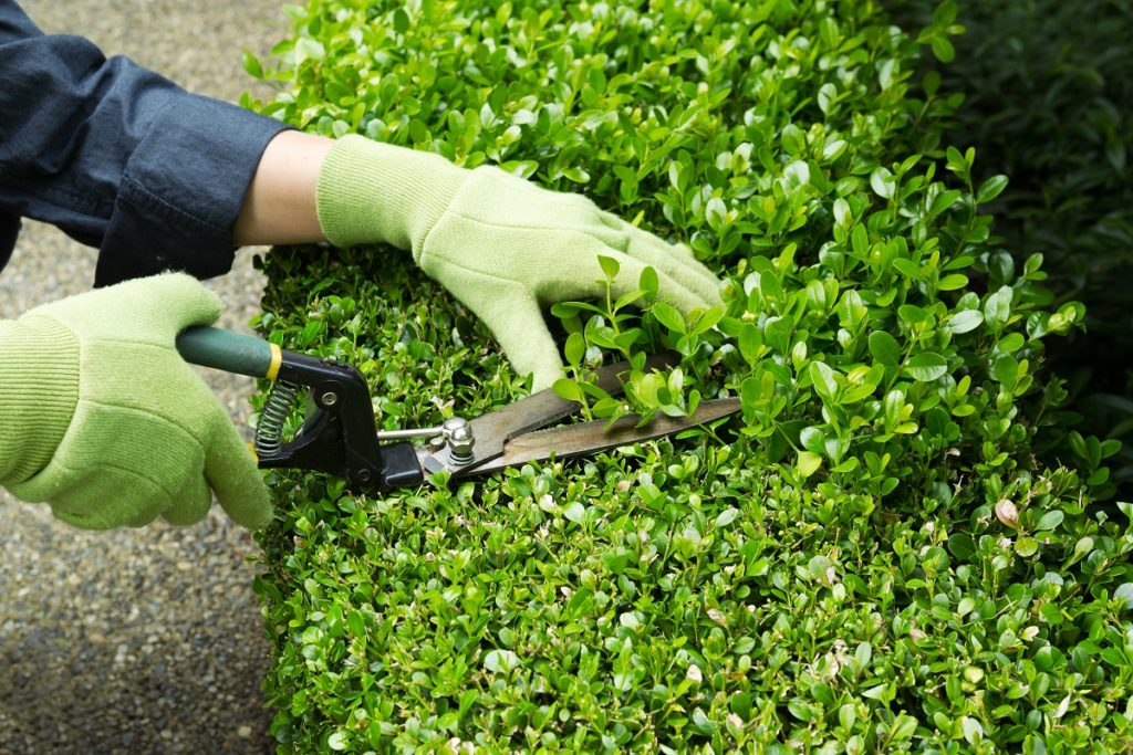 Gardener cutting the hedges