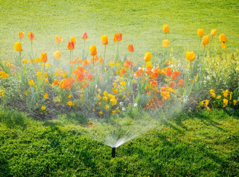 Tulips being watered using an automatic sprinkler