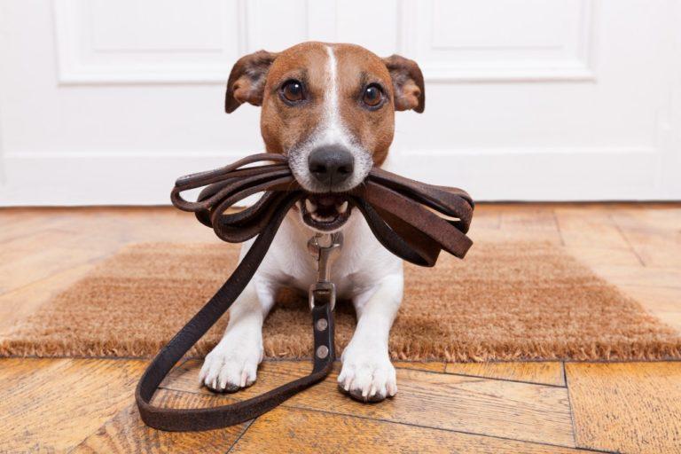 Dog biting his leather leash