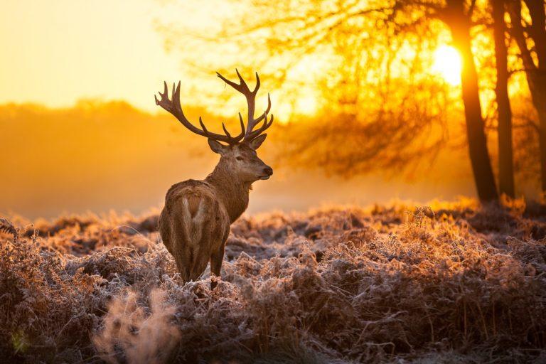 Deer in the wilderness