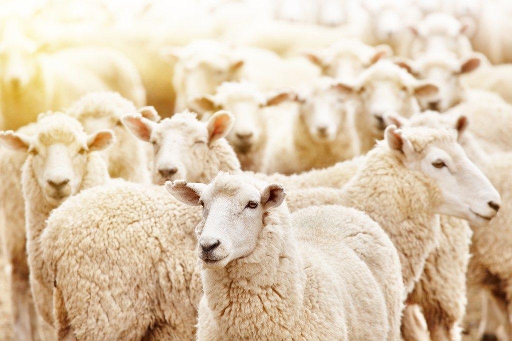 Sheeps in Quarantine