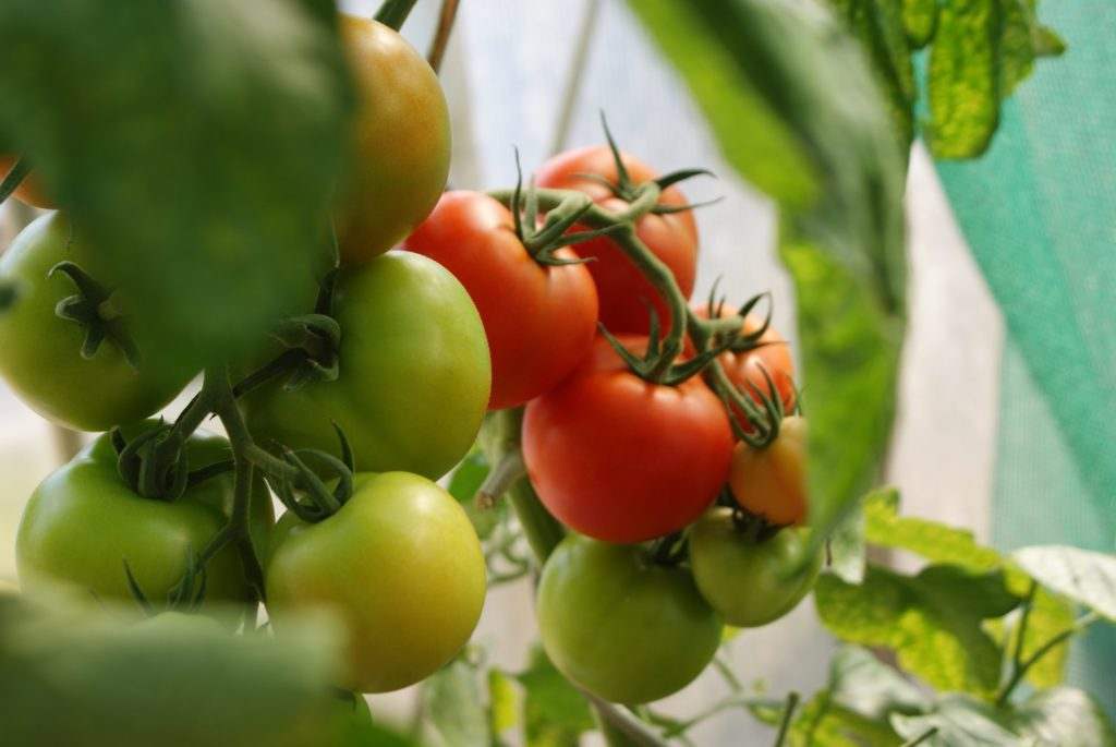 green and ripe tomatoes